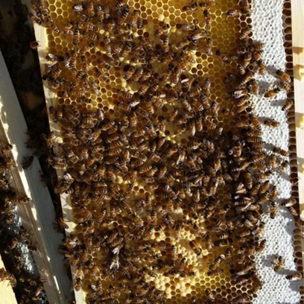 Μελισσοδέματα 1,40 Kgr